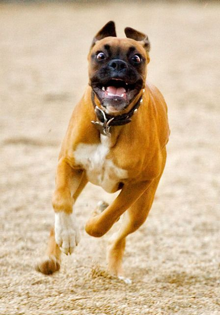 Pictures of Boxer Dog Breed-C'Mon and admit it, we all look like this when we run!