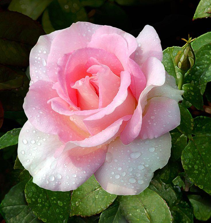 """ Falling in Love "" - Hybrid Tea Rose - Carruth - 2006"