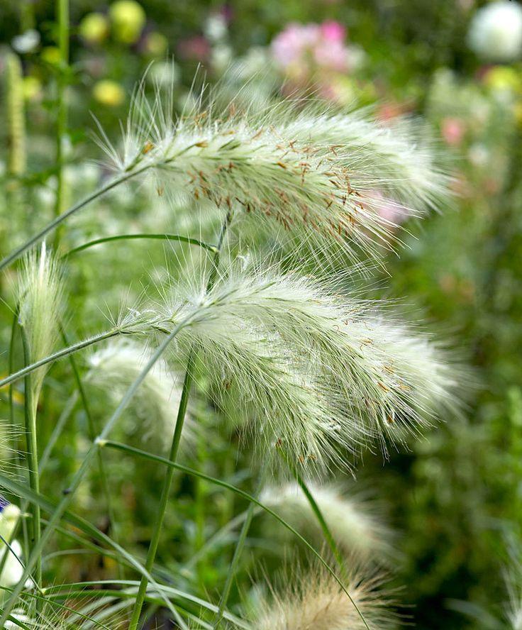 beautiful Fountain Grass 'Hameln' at Bakker Spalding