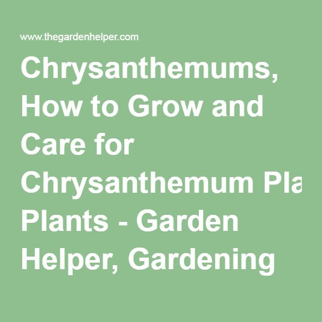 Chrysanthemums, How to Grow and Care for Chrysanthemum Plants - Garden Helper, Gardening Questions and Answers