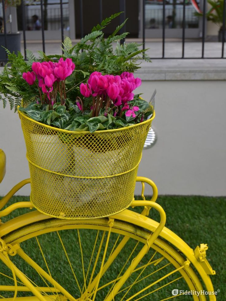 Bellissima bicicletta gialla con ciclamini rosa posta come arredamento del giardinetto davanti al patronato di Piovega.