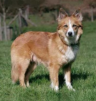 welsh sheepdog photo | Welsh Sheepdog