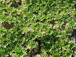 Azorella trifurcata 'Nana' - Andenpolster