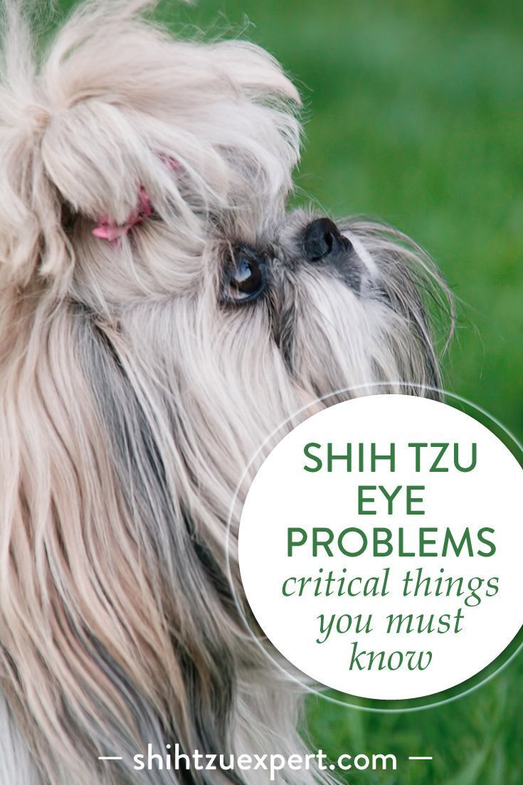 Shih Tzu Eye Problems Critical Things You Must Know About Your