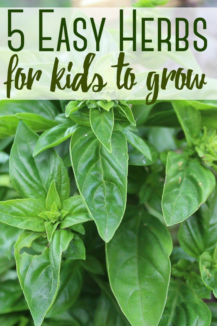 Herbs are a wonderful way to get your kids involved in gardening because they are low maintenance and grow quickly. Get your kids involved with these 5 easy herbs.     #gardening #herbs #kids #gardeningwithkids #backyardgarden