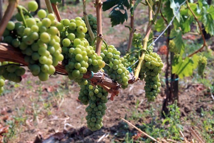2HA Pince, Szent György hegy #balaton #hungary #wine