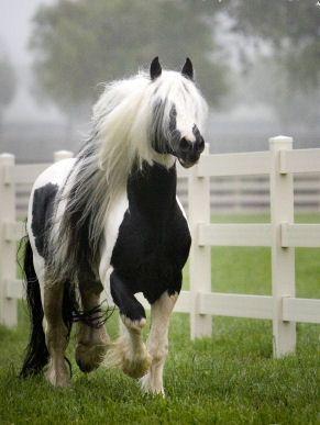 Finnvarra,  Gypsy Cob Stallion.