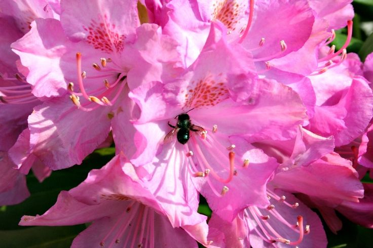 Solitary Ground Bee, Pollinating Insects - Home and Garden Joy