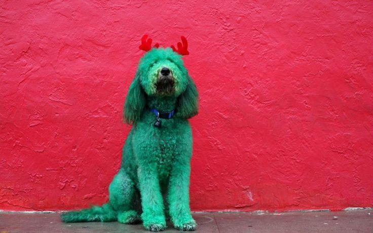 Ρούντι το σκυλάκι. Με πράσινη μπογιά βαμμένος και με υφασμάτινα κερατάκια ελαφιού, ποζάρει ο σκύλος της φωτογραφίας στο Τέξας. Η μεταμφίεση έγινε με αφορμή την γιορτή των Ευχαριστιών. REUTERS/Jose Luis Gonzalez