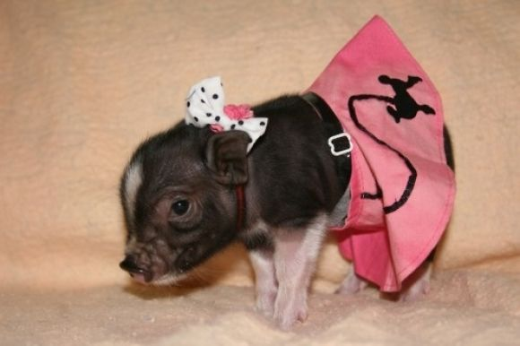 adorable little pig dressed in a pink skirt