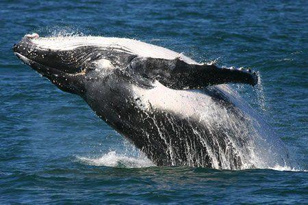 Bultrug, Humpback whale (foto: St.Maarten Nature Foundation)