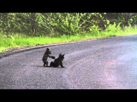 bear cubs @ Yosemite wrestle in the road while Mom eats at the side. Ending with scampering up a tree.