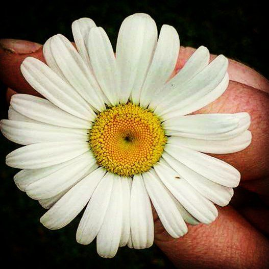 The cutest daisy#naturelovers #nature #lifesbeautiful #lifesbeauty #pretty #prettyplants #prettyplant #natural #zoomin #zoom #closeup #closeups #cuteness #cute #adorable #daisy #naturesbeauty #naturesbeautiful #plant #plants