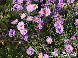 (Symphytotrichum) aster novi-belgii - 'Michaelmas daisies' Border perennial for sun. BC - western mountain aster, meadow aster, eaton's aster, long-leaved aster.