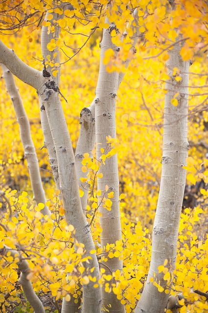 Yellow Aspen: Fall Leaves, Aspen Trees, Birches Trees, Autumn Leaves, Color, Northern California, Photo, Yellow Aspen, Parts Time Job