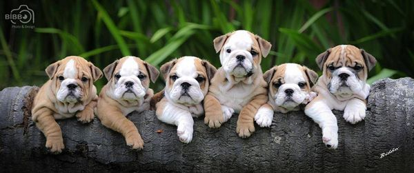 English Bulldog puppies. <3