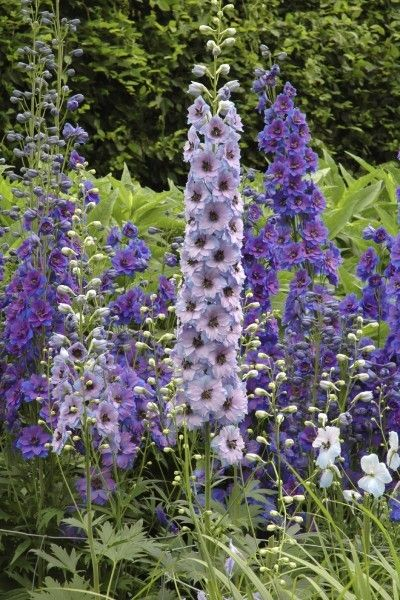 Care Of Delphinium Flowers: Tips For Growing Delphinium Plants. Selection of Delphiniums for garden perennial herbaceous border.