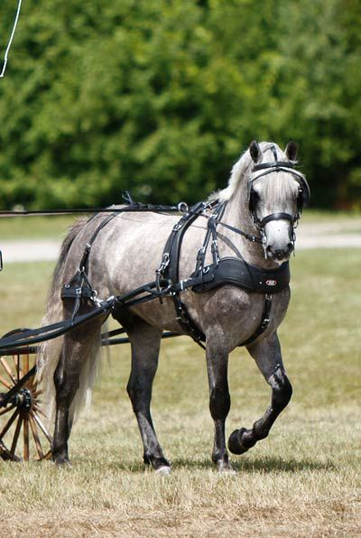 Grey Carriage pony. - by Leslie Town Photography
