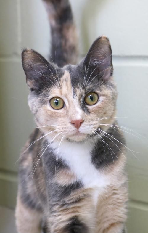 b55acdfa5a5a20 I'm a 5 month old spayed female calico or dilute calico dilute tortabby  with white Domestic Short Hair.
