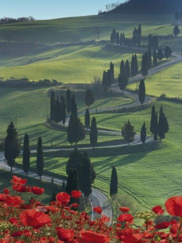 Montichiello, Tuscany, Italy Sinuous lines   of Cyprus trees line the road that winds its way through the lush Tuscan   landscape. Fields of fully open red poppies add a  touch of brilliant color to   this classic Tuscan landscape.