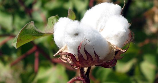How Cotton is Grown | Wardrobe Advice