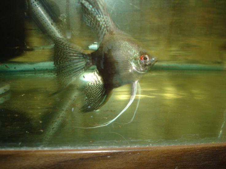 102 best angelfish images on pinterest aquarium fish for 405 tropical fish