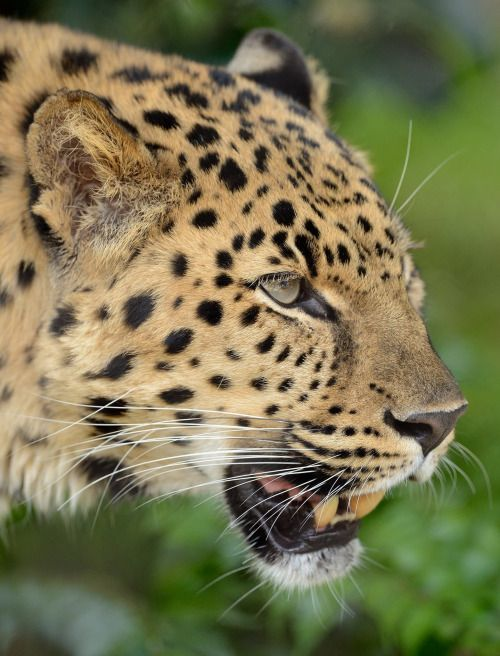 40 Fascinating Facts About the Amur Leopard