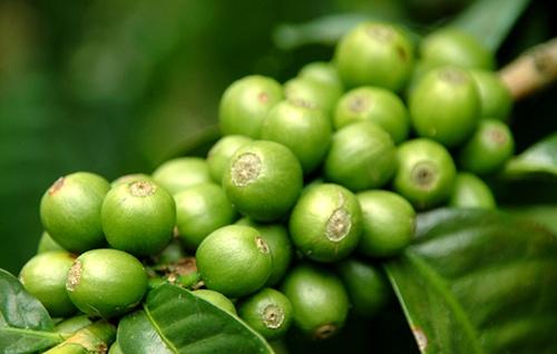 A capsula de café verde é a mais nova arma para perder peso. Pesquisas recentes comprovaram que a ingestão de extrato de café verde, acompanhada de uma dieta saudável e exercícios físicos. A capsula de café verde entra como parte dessa dieta agindo como complemento alimentar que acelera o metabolismo ajudando assim no processo de emagrecimento.