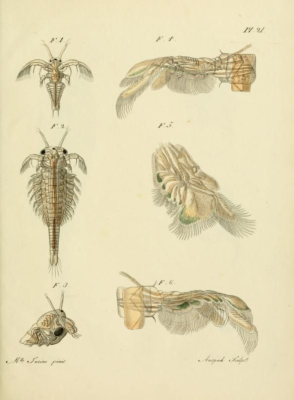 44 best Sea monkeys images on Pinterest | Sea monkeys, Brine shrimp ...