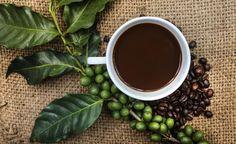 Kaffeegenuss aus eigenem Anbau -  Kaffee als Bohne oder Pulver kennt jeder. Doch die dazugehörigen roten Früchte, in denen je zwei Samen reifen, bekommt man hierzulande selten zu sehen. Es sei denn, Sie haben eine Kaffeepflanze zu Hause.