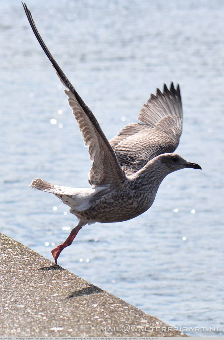 Zeemeeuw - Seagull ©walterfrisart