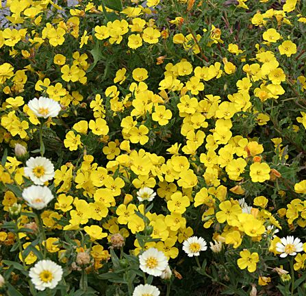 """Camissonia bistorta 'Sunflakes' I am delighted with this wonderful & rare CA native annual groundcover. Growing 8-10"""" tall & 3' wide, this San Diego County native is covered in Spring & Summer with MASSES of the most brilliant sulfur yellow, cup-shaped flowers."""