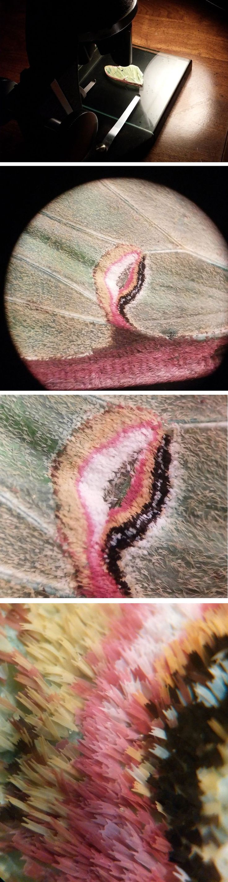 Surpreendentes Fotos de Asa de uma traça de Luna sob um microscópio. Reddit user Proteon found a luna moth's wing earlier this week and captured some amazing close-ups using a 1951 American Optical Spencer microscope. As the magnification gradually increases you can see the incredible texture and complexity of the moth's wing. The luna moth (Actias luna) is a lime-green, Nearctic Saturniid moth in the family Saturniidae, subfamily Saturniinae. It has a wingspan of up to 114 mm.