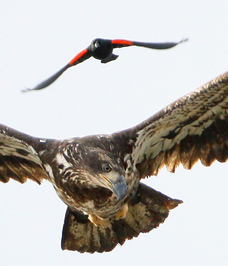 Look Out Above! Immature bald eagle being harrassed by a very brave little red winged blackbird!
