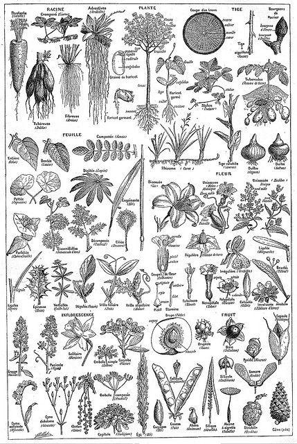 Plante - Larousse universel - 1922