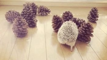 Hedgehog and pinecones <3