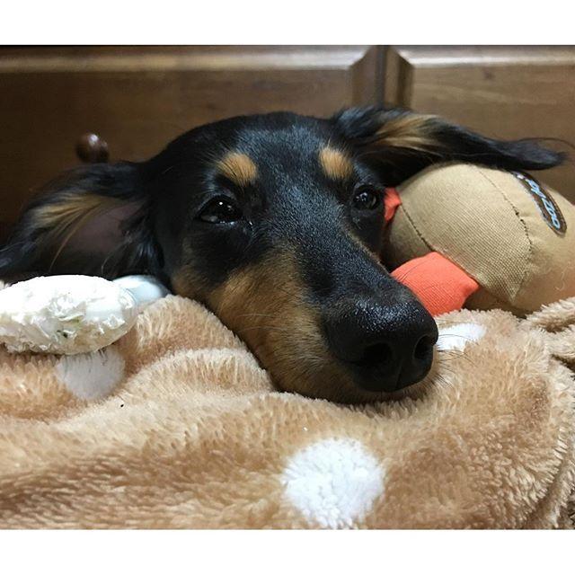 ドロボーさんに取られないように お耳で隠すなの🐶❤️ I will take a nap. #宝物#大切#お昼寝 #これでも#ホネホネ#新しい(笑) . #大豆#daizu#関西犬友会#関西ダックス#ダックス#ミニチュアダックス#dachshund#dog#犬#愛犬#ブラックタン#短足#京都#kyoto#todayswanko#BESTFRIENDS_DOGS#kyounodachs#peco犬部