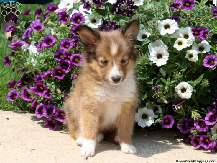 Smooth collie puppies for sale in pa