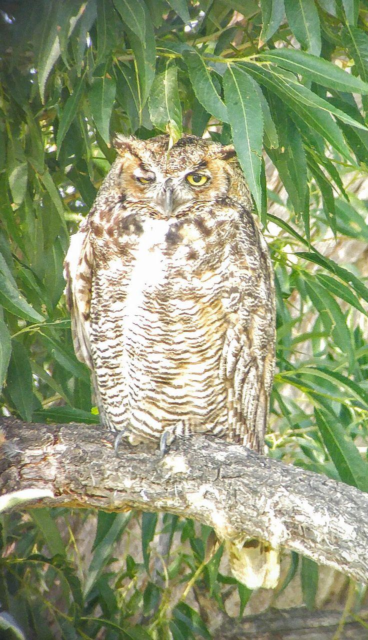 Great Horned Owl ©Lark Latch. Wild Bird Company - Boulder, CO, Saturday Morning…