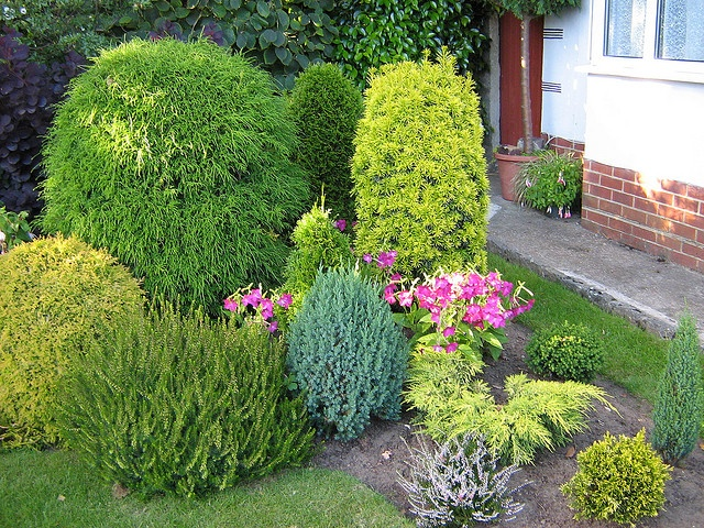 Dwarf conifers landscape shrubs trees pinterest for Dwarf trees for small gardens