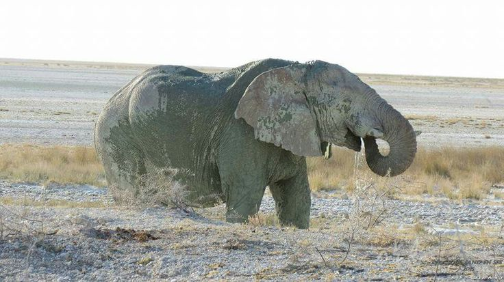 Green Elephant.  Etosha. Picture taken by a friend of elephant covering itself in greenish soil.