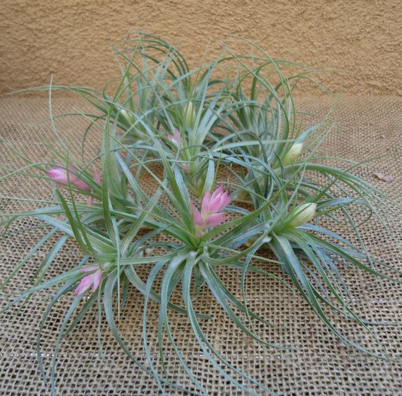 10 Pack Tillandsia Stricta Air Plant SALE FREE SHIPPING. Nice size 3-5. Beautiful green leaves. Stricta bloom large pink and purple flowers when in