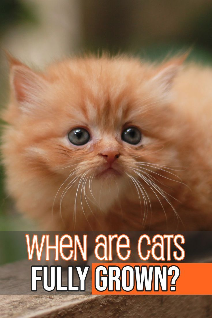 Kitten Growth And Cats Life Stages Cats Cat Care Cat Facts