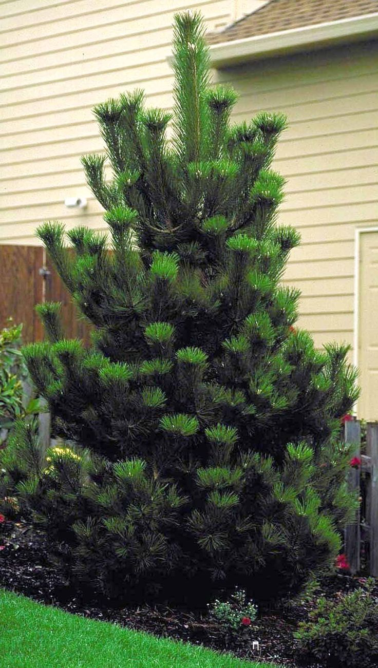 Austrian pine - fast growing