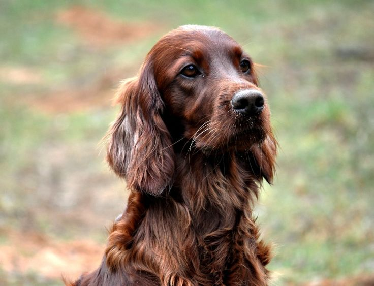 Worksheet. 1037 best Doggers images on Pinterest  Irish setter dogs Animals