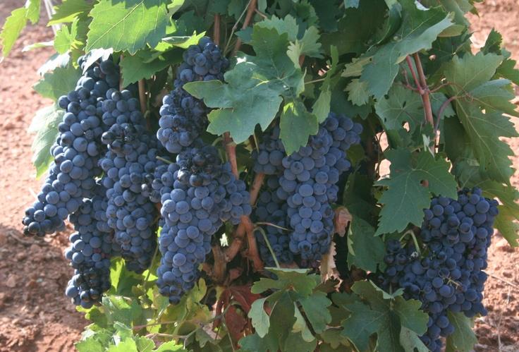 Tempranillo on the vine in Extremadura