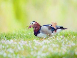 Un pato mandarín sobre la hierba
