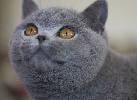 британский кот: 22 тыс изображений найдено в Яндекс.Картинках
