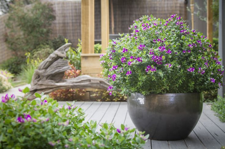 LITTLE BIBI Polygala • Low borders and hedging • Containers to brighten up entertainment areas • Mixed garden beds • Patios and courtyards • Formal garden plantings