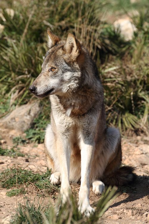 The Eurasian wolf (Canis lupus lupus) is a subspecies of the Gray wolf(Canis lupus), native to Europe and the forest and steppe zones of the former Soviet Union.